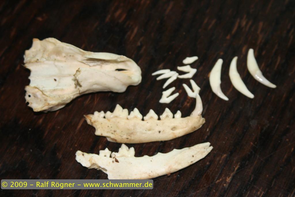 Fuchsschädel und Zähne