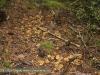 Trompetenpfifferlinge